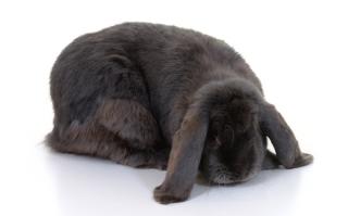 ארנבון שמוט אזניים דורש טיפול וטרינרי למנית דלקות