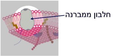 חלבון ממברנה