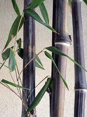 בן חזרן שחור - Phyllostachys nigra