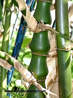 חזרן תפוח קנה - Bambusa ventricosa